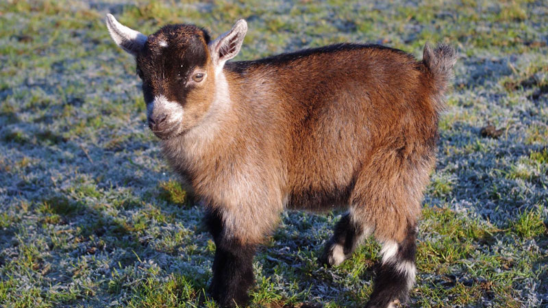 Meet Benjamin, the Orphan Pygmy Goat Sweeping Britain