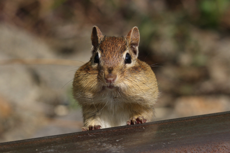 chipmunk cheeks filled with food Picture of the Day: Chubby Cheeks