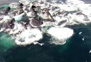 Drone Captures Huge Pod of Humpbacks Feeding in Alaska