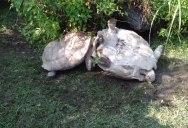 Tortoise Flips Over Friend That's Stuck Upside Down