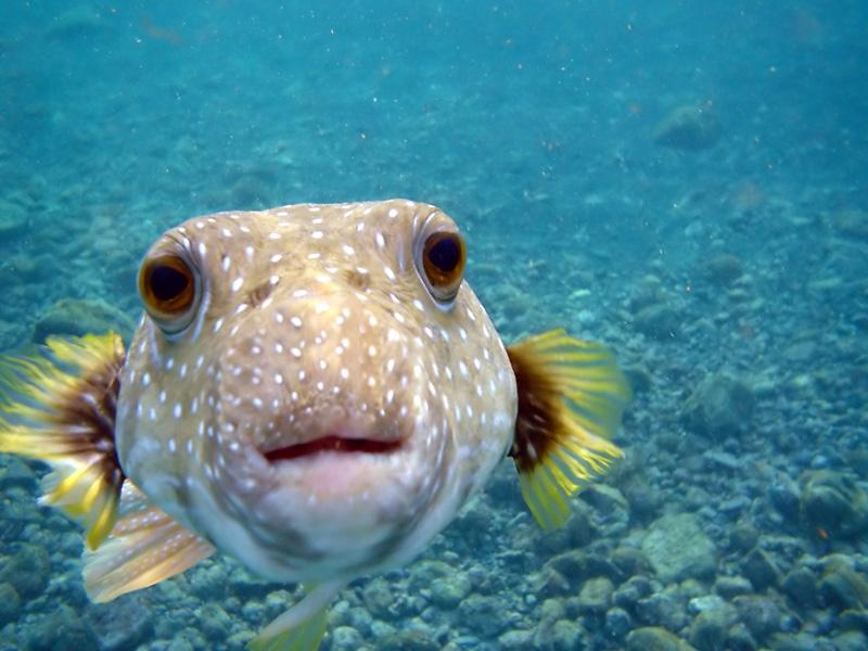 kiss from a puffer fish staring at camera hawaii Picture of the Day: Kiss from a Puffer Fish