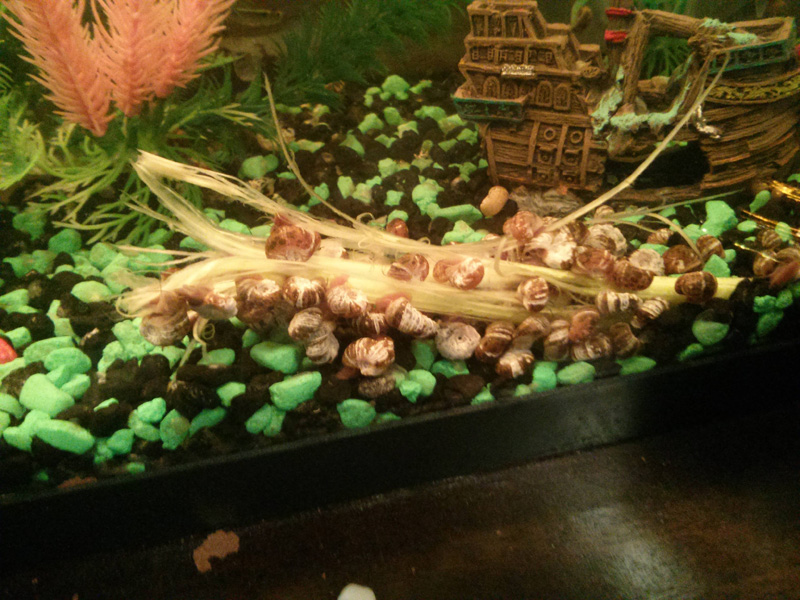 snails eating celery in fish tank This is How Snails Eat Carrots and Celery
