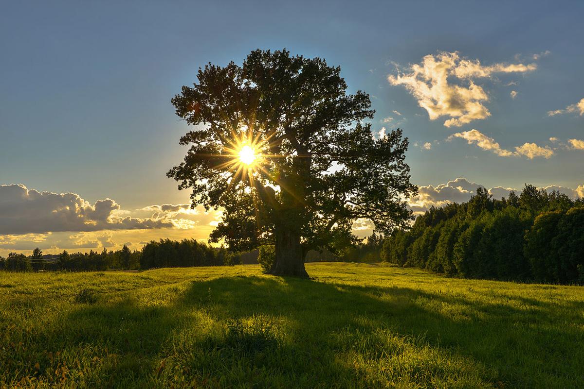 Tamme-Lauri_oak the oldest tree in estonia