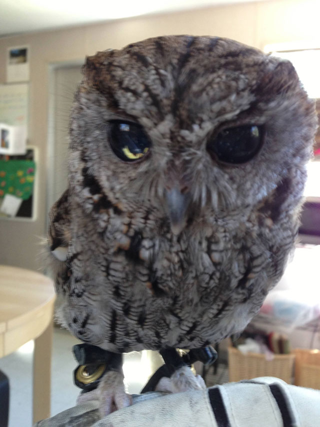 zeus blind owl with starry eyes rescued (1)
