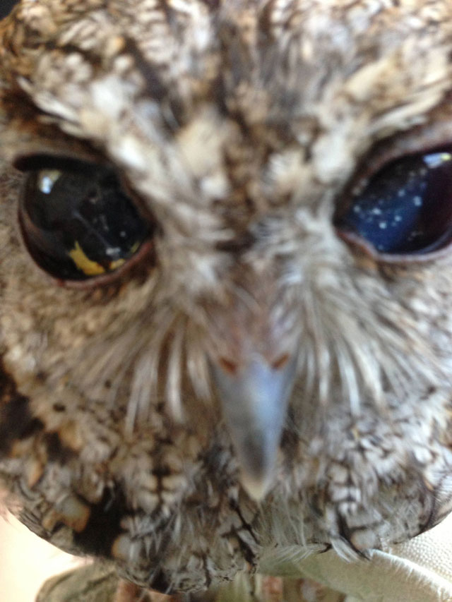 zeus blind owl with starry eyes rescued (3)
