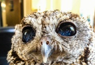 This is Zeus, the Blind Rescue Owl with Stars in his Eyes