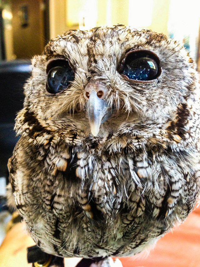 zeus blind owl with starry eyes rescued 7 This is Zeus, the Blind Rescue Owl with Stars in his Eyes