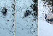 Giant Panda Cub Plays in the Snow for the Very First Time