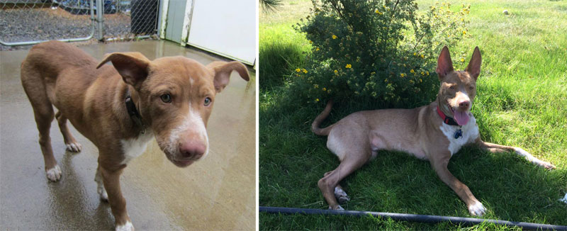 before and after pics of adopted dogs (11)
