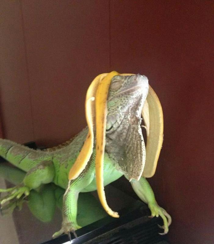 lizard-looking-fabulous_BANANA