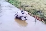 Just a Pig Trying to Walk Down a Frozen Sidewalk