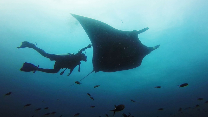 Swimming with Giant Manta Rays in Ecuador