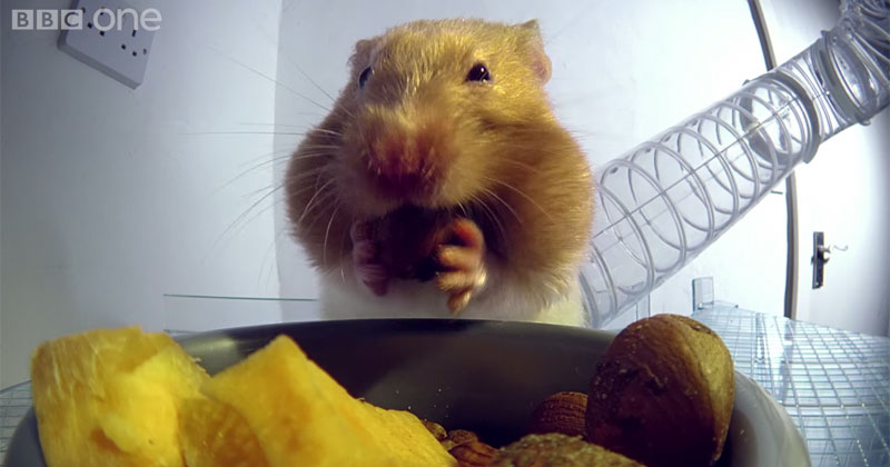 X-Ray Video Shows How Hamsters Can Stuff So Much Food Into Their Cheeks