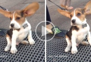 """Just a Beagle on a Subway Grate Set to """"I Believe I Can Fly"""""""