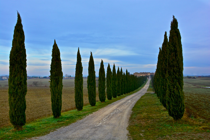 cypresses in tuscanny antonio cinotti