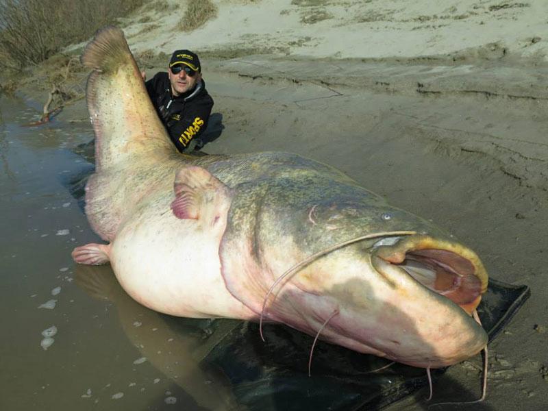 dino ferrari catches record breaking 280 pound catfish in italy (3)