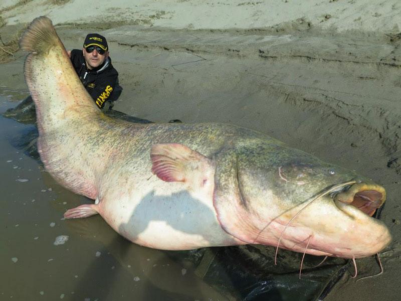 dino ferrari catches record breaking 280 pound catfish in italy (4)
