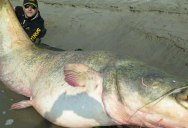 Fisherman Catches and Releases Record Breaking 280-pound Catfish
