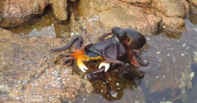 This Woman was Filming a Crab When an Octopus Leaped Out of the Water and Snatched It