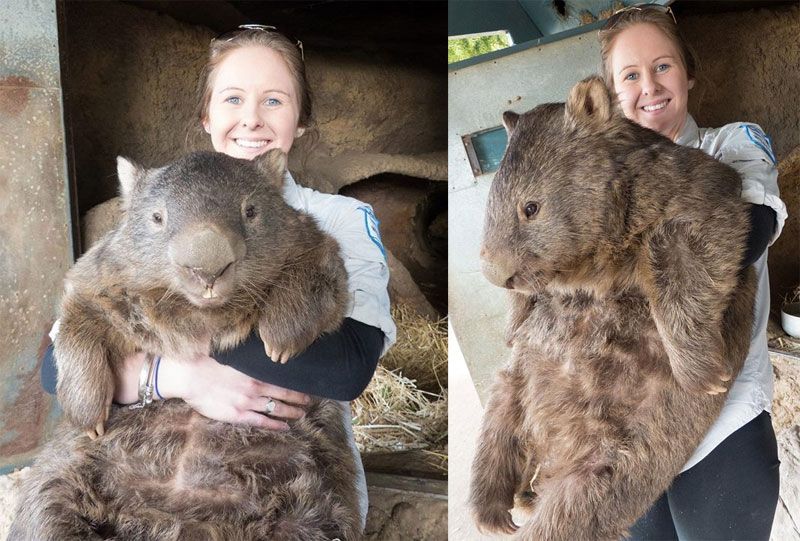 patrick the oldest and largest living wombat 8 Guy Walks His Pet Tortoise Around the Streets of Tokyo