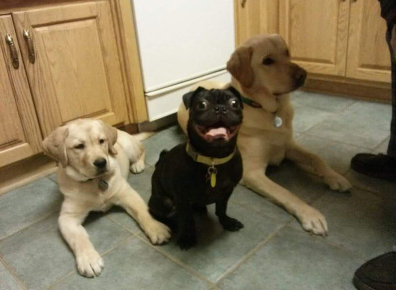 pug smiling between two labs The Shirk Report   Volume 305