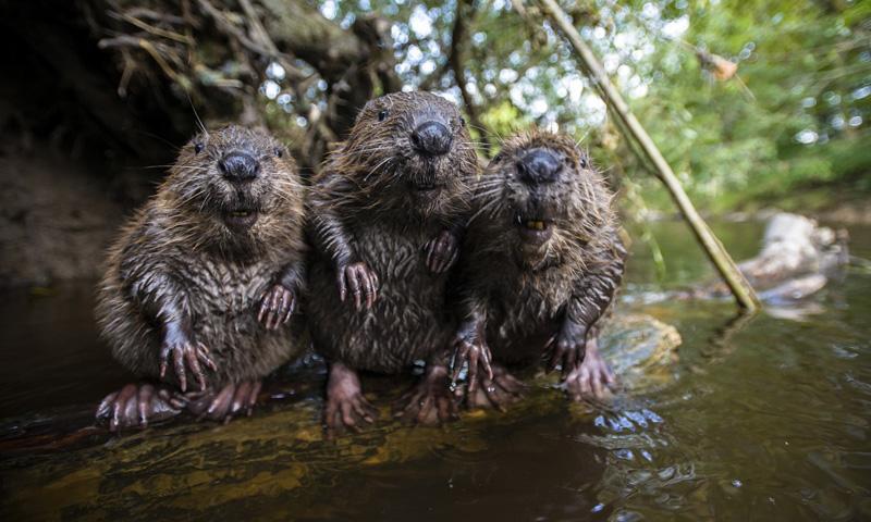 three happy beavers The Shirk Report   Volume 304