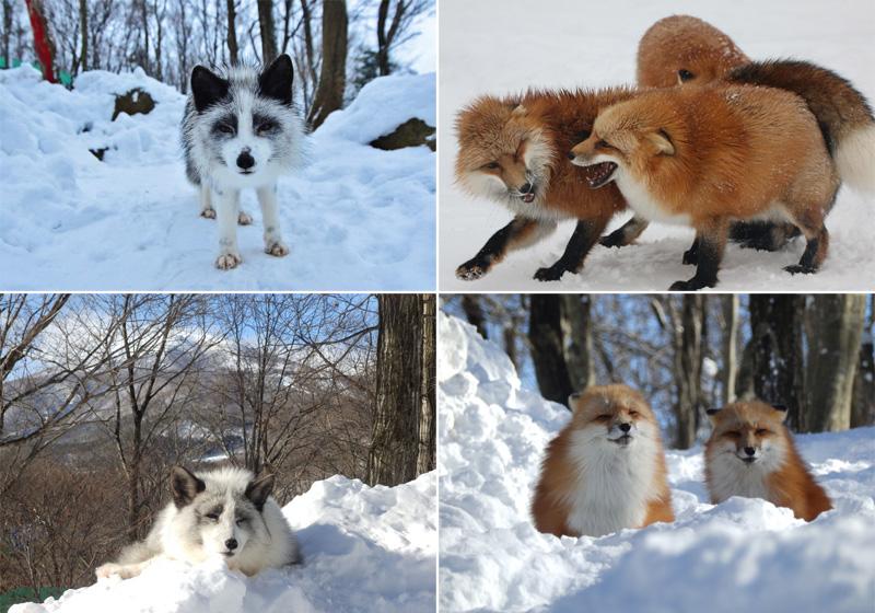 zao fox village sanctuary japan (1)