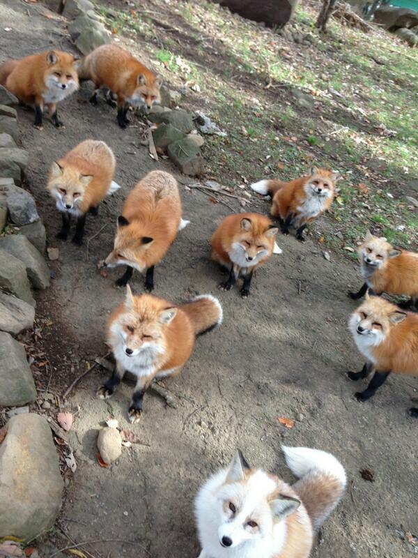 zao fox village sanctuary japan (3)