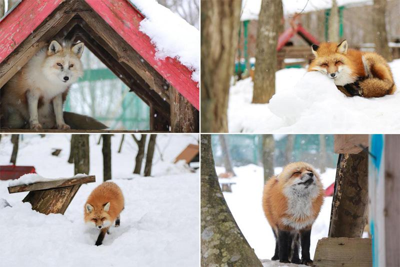 zao fox village sanctuary japan (8)