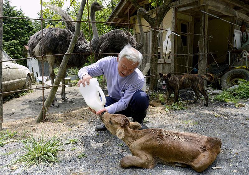 after fukushima Naoto Matsumura takes care of abandoned animals in tomioka (9)