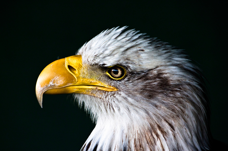 bald eagle portrait side profile Picture of the Day: Portrait of an Eagle