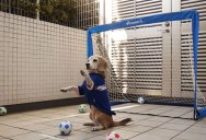 Beagle Goalkeeper is Adorably Awesome