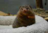 Picture of the Day: Just a Dwarf Mongoose