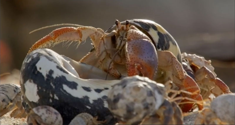 The Great Hermit Crab Shell Swap