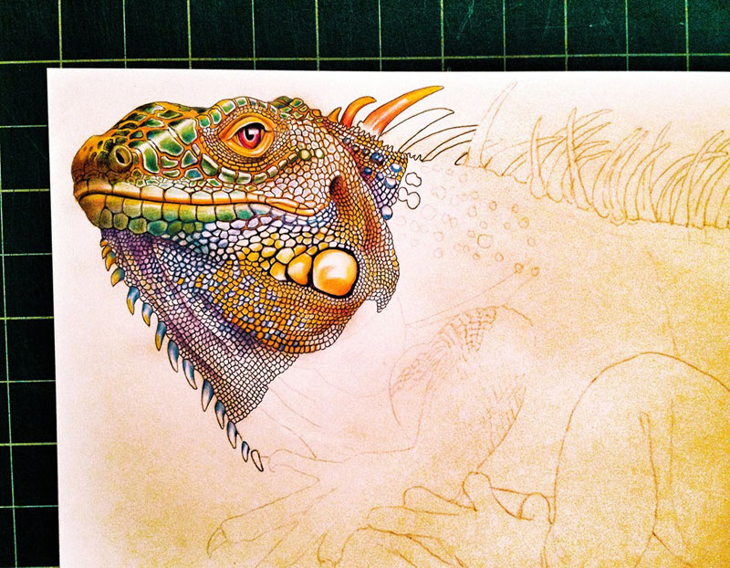 incredibly detailed pencil crayon drawings of iguana and chameleon by tim jeffs (2)