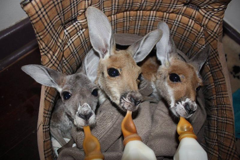 kangaroo dundee chris brolga barns kangaroo sanctuary (12)