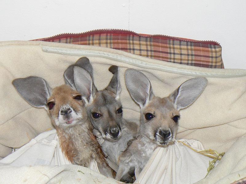 kangaroo dundee chris brolga barns kangaroo sanctuary (4)