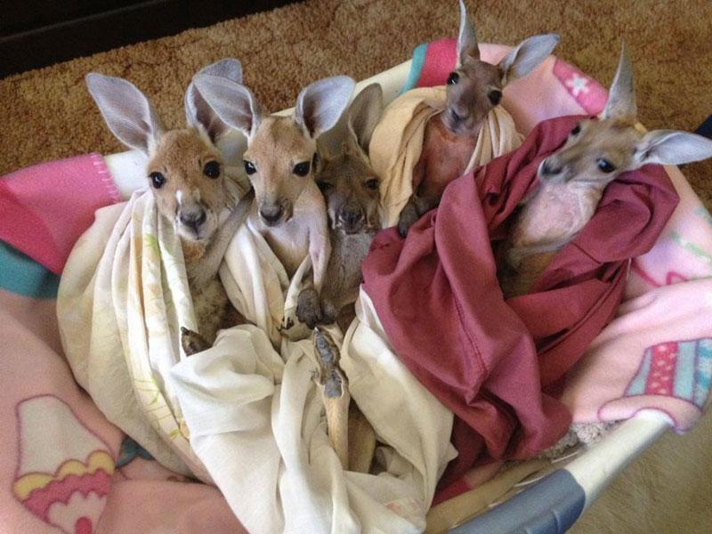 kangaroo dundee chris brolga barns kangaroo sanctuary (6)