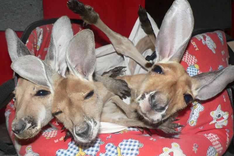 kangaroo dundee chris brolga barns kangaroo sanctuary (8)