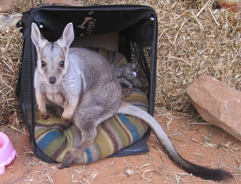 kangaroo dundee chris brolga barns kangaroo sanctuary (9)