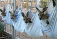 A Sanctuary for Orphaned Kangaroos Whose Mothers Have Been Hit by Cars