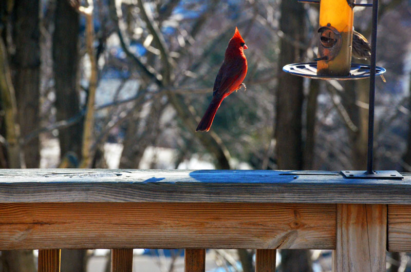 levitating cardinal floating bird perfect timing The Top 100 Pictures of the Day for 2015