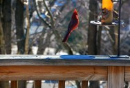 Picture of the Day: Cardinal Levitation