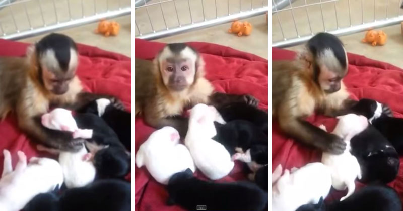 Monkey Meets Puppies for the First Time