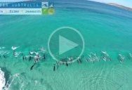 Drone Captures Pod of Dolphins Surfing Waves Off Australian Coast