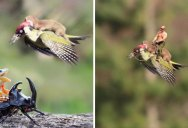 The Internet is Having a Field Day with the Bird Riding Weasel