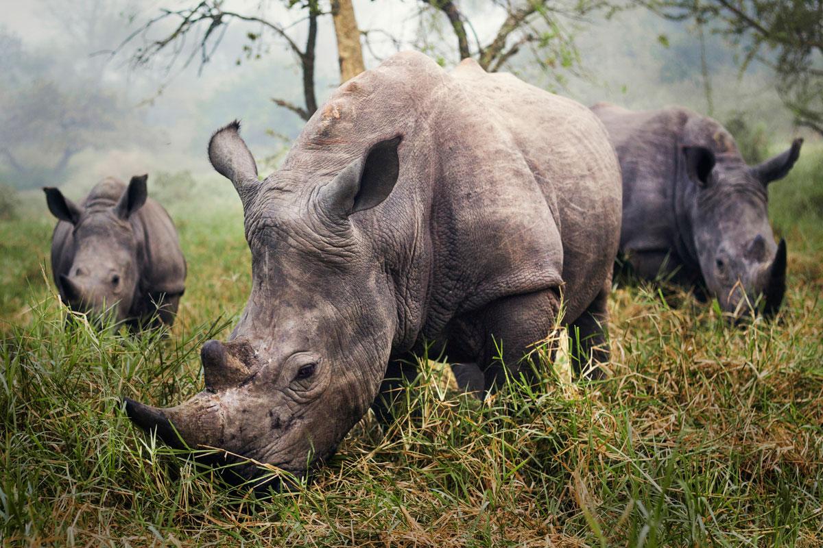 10-White-Rhinos