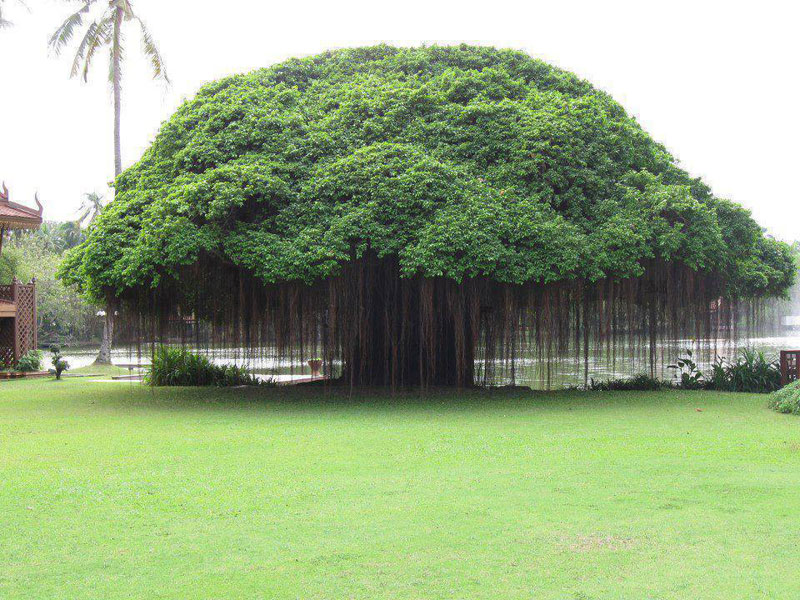 banyan tree Picture of the Day: Banyan Tree