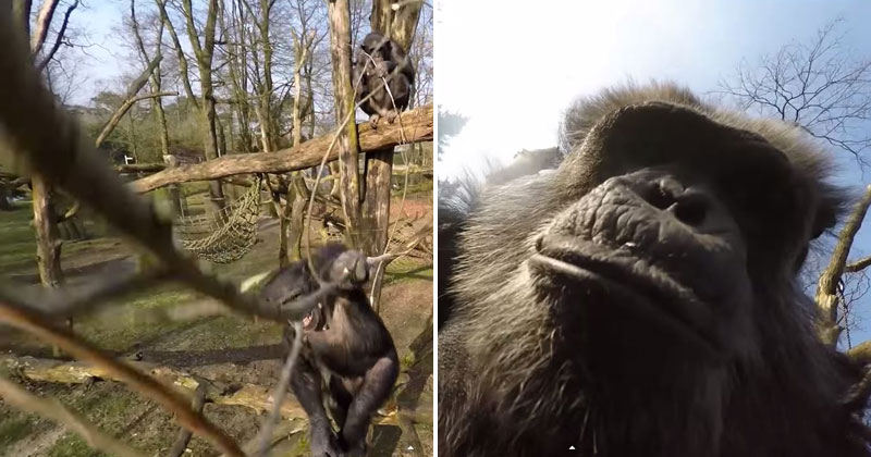 Chimp Uses Branch to Swat Down a Drone and then Takes a Selfie With It
