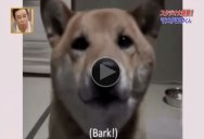 Watch This Dog Use His 'Indoor Voice' When Barking